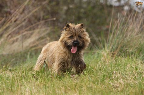 Non Shedding Breeds Nz by 17 Cairn Terrier Non Shedding Dogs Sealyham Terrier