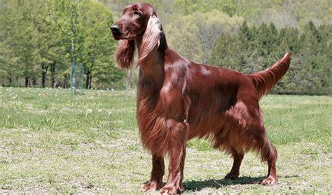 Setter Hair Shedding by Setter Breed Information