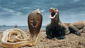 Anaconda vs Komodo Dragon | Anaconda vs Komodo Dragon ...