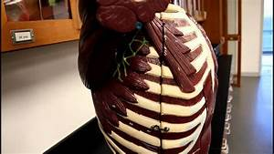 Muscular System Anatomy Chest Region Torso Muscles Model