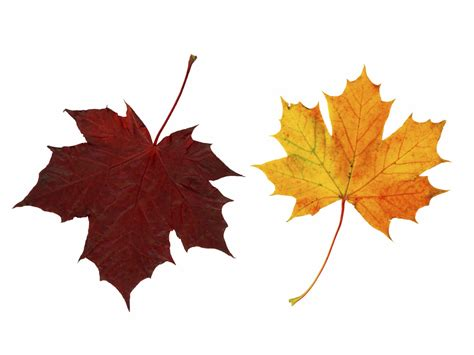Fall Backgrounds Realistic by Fall Leaves Cliparts Co
