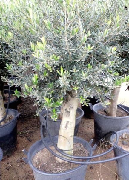 arrosage olivier en pot l oliveraie du coudon l olivier en pot
