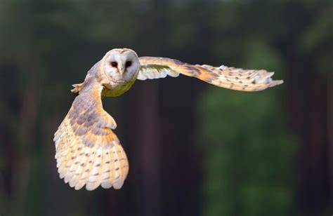 Barn Owl Malaysia by Malaysian Palm S Integrated Pet Management