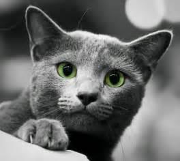 blue russian cat russian blue cat