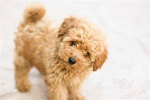 apricot toy poodle puppy dog | TOO CUTE PUPPIES | Pinterest