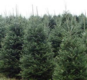 Frasier Fir Christmas Trees by Fraser Fir Photo Gallery