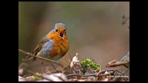 ptaki polski wiosenne odglosy ptakow rudzik