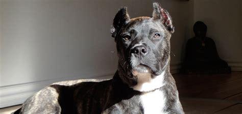 el perro de presa canario historia de la raza