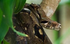 Top 20 Dangerous And Fabulous ANACONDA Snake Wallpapers In ...