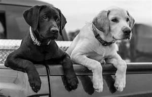 Wallpaper body, dogs, black and white, Labrador Retriever ...