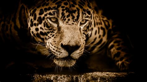 Jaguar Animal Hd Wallpapers - amazing jaguar 5k wallpapers hd wallpapers id 22035