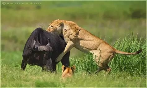 Lion vs Gorilla Fight