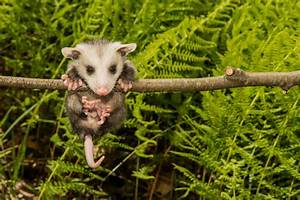 How Can Anyone Hate a Possum? Here's Why You Shouldn't ...