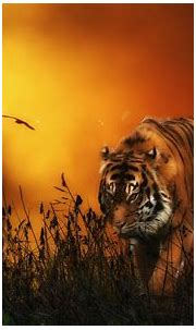 Tiger HD Wallpaper | Background Image | 1920x1200