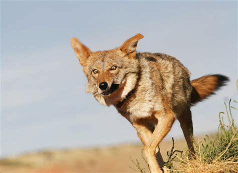 daily coyote blog archive crazy eyes