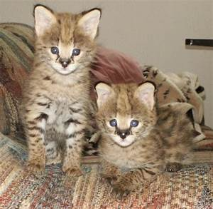 Serval Cats - African Serval Cat Care, and Serval Cats as ...