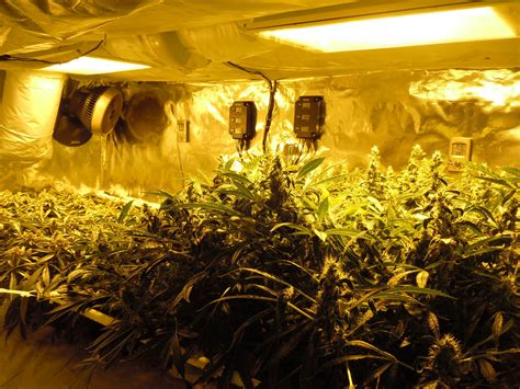 chambre cannabis chambre culture cannabis images