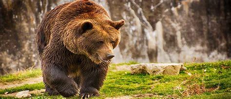 Sapņu tulks lācis. Ko nozīmē sapnī redzēt lācis.