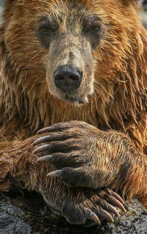 beautiful grizzly bear alaskan brown bear bear paws bear