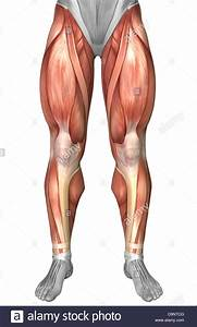 Diagram Illustrating Muscle Groups On Front Of Human Legs