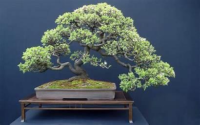 Bonsai Japan Trees Wallpoper