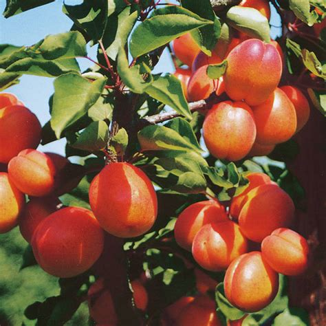 Patio Fruit Tree Sibleys Apricot Flavorcot - Apricot Trees ...
