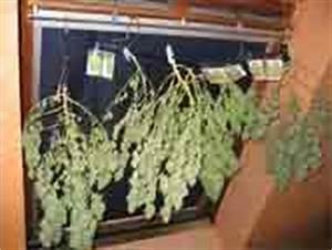 Pied De Beuh : mr green culture cannabis ~ Medecine-chirurgie-esthetiques.com Avis de Voitures