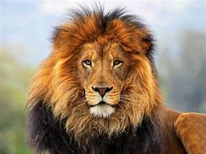 What exactly makes the lion the king of the jungle? I'm ...