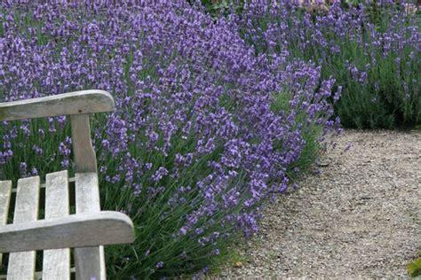 wann schneidet lavendel lavendel echter lavendel hidcote blue lubera ch