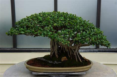 bonsai da interno bonsai da interno le variet 224 pi 249 da tenere in casa
