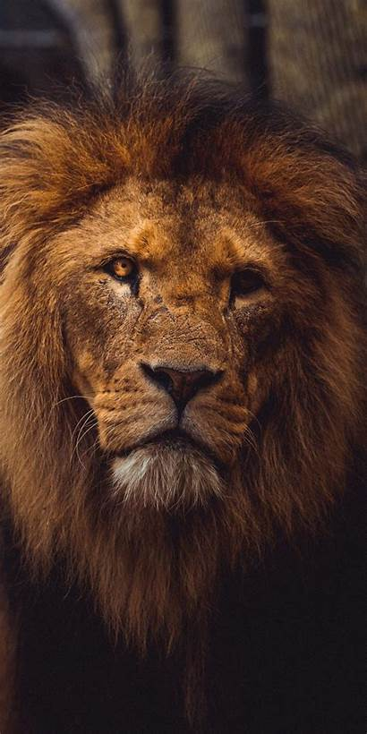 Lion Iphone Cool Wallpapers 3wallpapers Plus Wallz