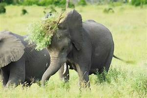 elephant meat nutrition facts