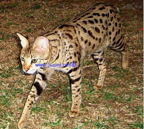 Best 25+ F5 Savannah Cat Ideas On Pinterest