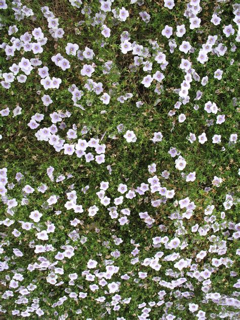 ground cover with white flowers online plant guide neirembergia argentiha neirembergia
