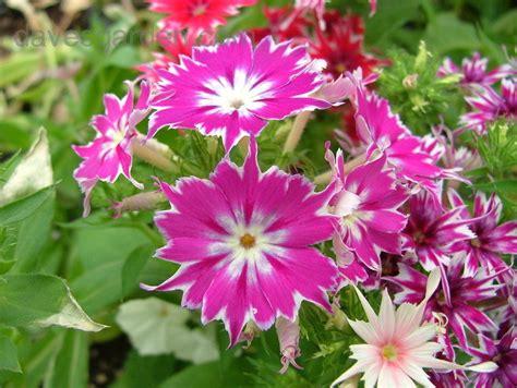 annual phlox plantfiles pictures annual phlox drummond s phlox twinkle star mix phlox drummondii by