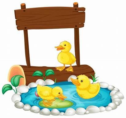 Pond Three Swimming Duck Ducks Illustration Ducklings