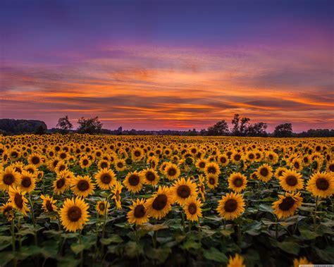 Sunflowers, Field 4K HD Desktop Wallpaper for 4K Ultra HD