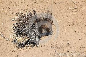 Porcupine - Free And Wild From Africa - Quills Head To Toe ...