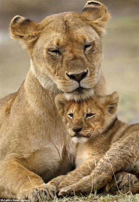 Lioness Cub Tattoos Pinterest Animals Pets