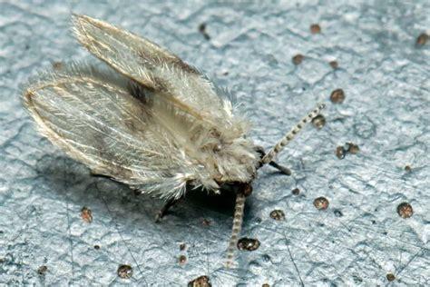 moth flies breeding  stagnant water rcci