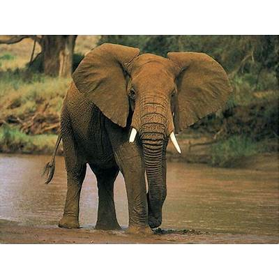 African elephant pictures |Funny Animal