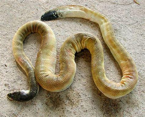 蛇 の 尻尾