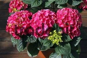 Hortensie Im Topf : garten hortensie hydrangea macrophylla hybride hortensie im topf a ~ Eleganceandgraceweddings.com Haus und Dekorationen