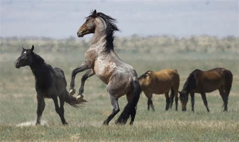 wanted  pastures  wests overpopulated wild horses