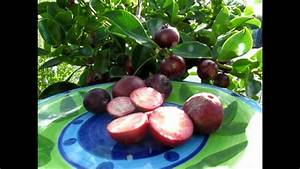 Red Cherry Guava U0026 39 S - A Review