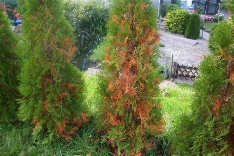 thujen werden braun thuja occ smaragd lebensbaum braune stellen was ist zu tun fragen bilder pflanz und