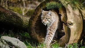 Wallpaper Lynx  World U0026 39 S Dangerous Animals  Wild Cats