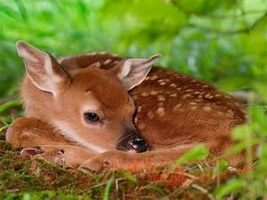 Wallpaper deer, fawn deer, White-tailed Deer, red deer ...