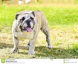 English Bulldog Royalty Free Stock Images - Image: 35697969