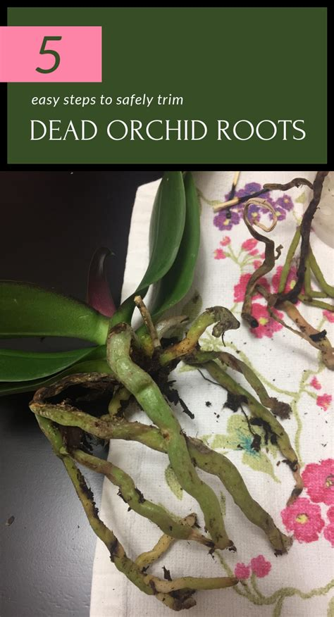 easy steps  safely trim dead orchid roots gardaholicnet